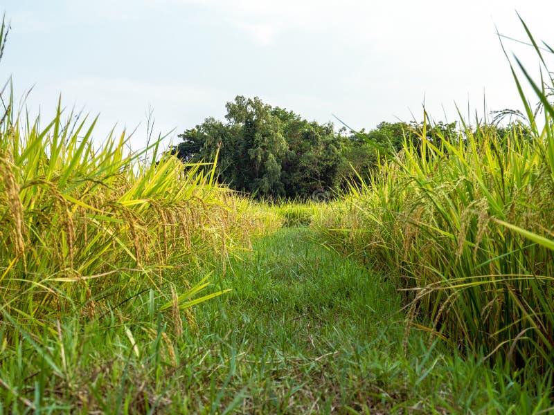 Agricultura en campos del arroz imágenes de archivo libres de regalías
