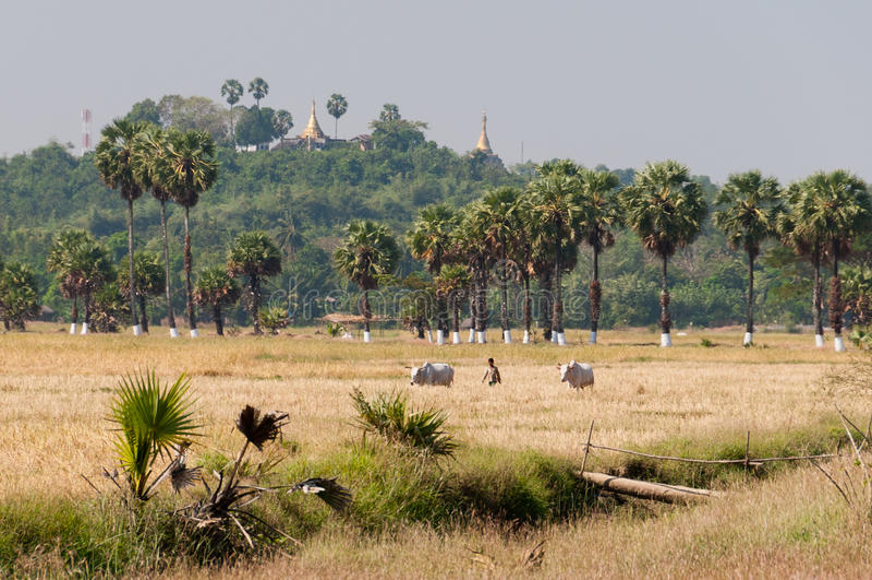 Agricultura en la isla de Bilu, Myanmar foto de archivo libre de regalías