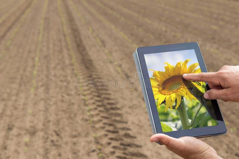 Agricultura esperta Fazendeiro que usa a plantação do girassol da tabuleta moder fotografia de stock royalty free