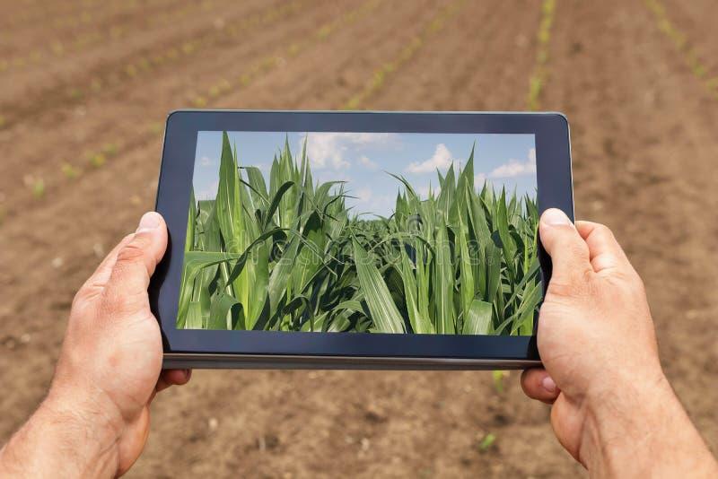 Agricultura esperta Fazendeiro que usa a plantação do milho da tabuleta AGR moderna imagem de stock royalty free
