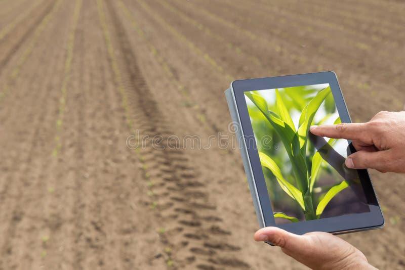 Agricultura esperta Fazendeiro que usa a plantação do milho da tabuleta AGR moderna imagens de stock royalty free