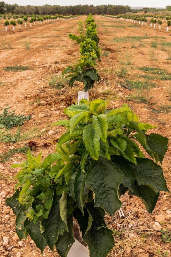 Agricultura extensiva das árvores pequenas da plantação da cereja imagens de stock