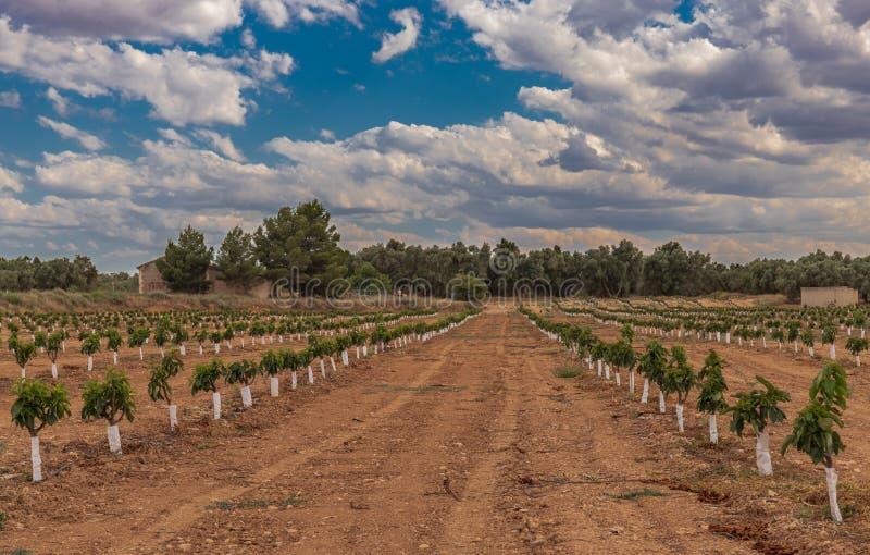 Agricultura extensiva das árvores pequenas da plantação da cereja imagem de stock royalty free