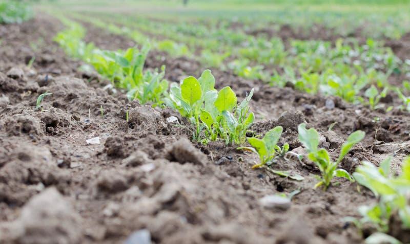 Agricultura Foto de un maíz joven creciente en el jardín fotos de archivo libres de regalías