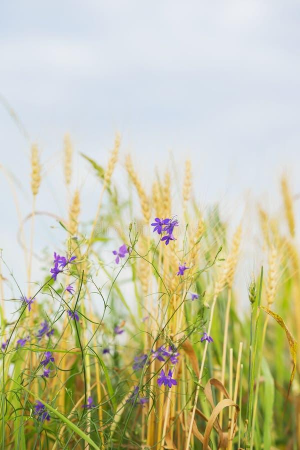 Agricultura Malas hierbas lindas salvajes en un campo en una granja en un día de verano soleado, junto con los oídos del cereal V imagen de archivo libre de regalías