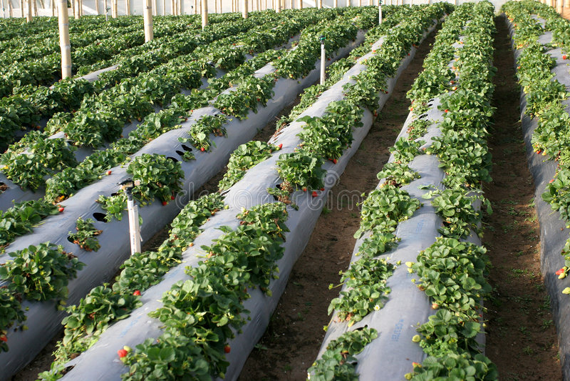 Agricultura-morangos fotografia de stock royalty free