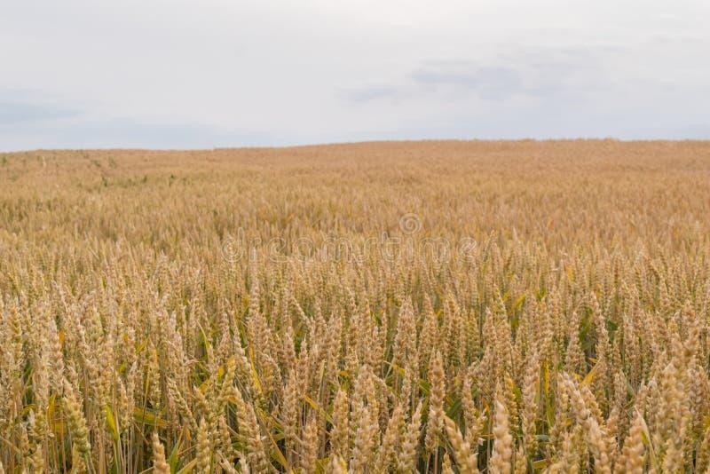 Agricultura orgânica - campo de trigo com espaço da cópia fotografia de stock royalty free