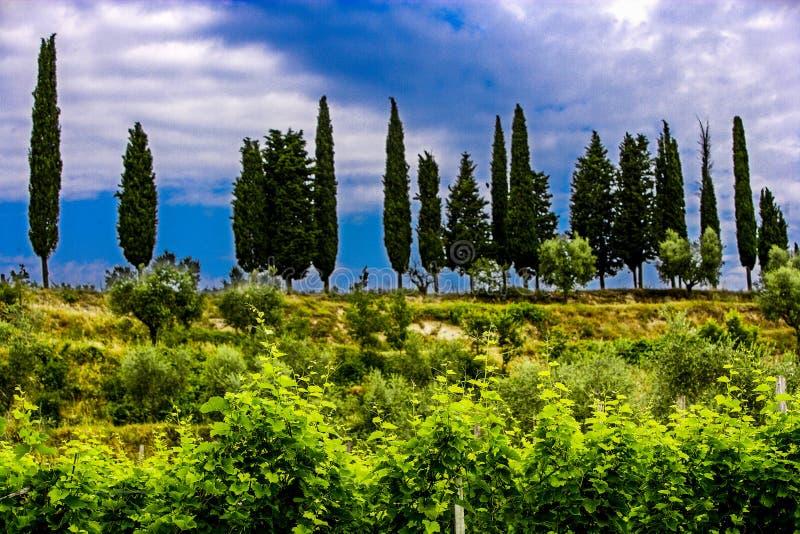 Agricultura para as uvas e o vinho foto de stock