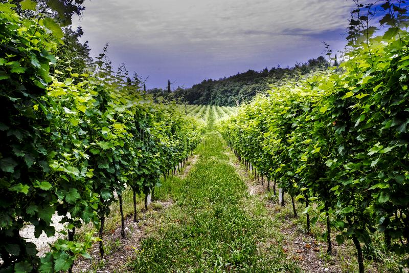 Agricultura para as uvas e o vinho imagem de stock