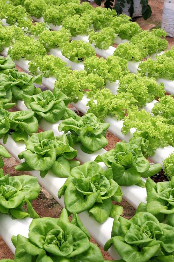 Agricultura - plantação hidropónica 03 foto de stock