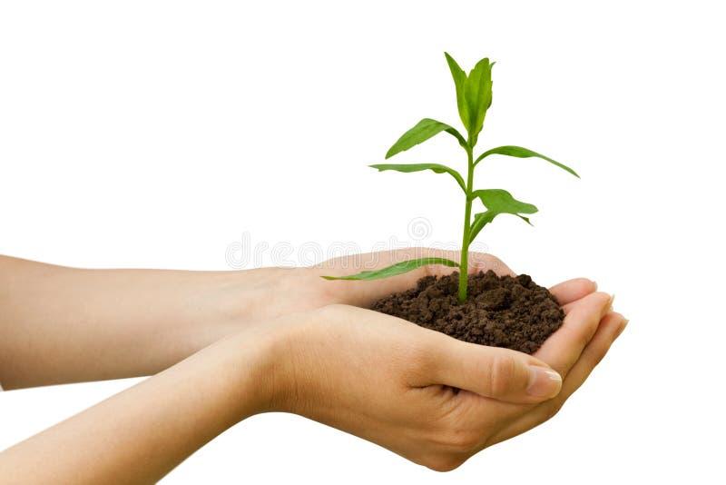 Agricultura. planta em uma mão imagem de stock royalty free