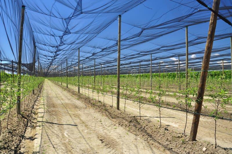 Agricultura - plantación de la fruta de árbol de melocotón imagenes de archivo