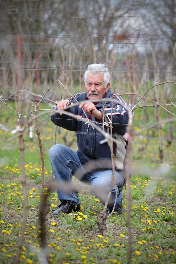 Agricultura, podando no vinhedo, funcionamento do homem superior fotografia de stock royalty free
