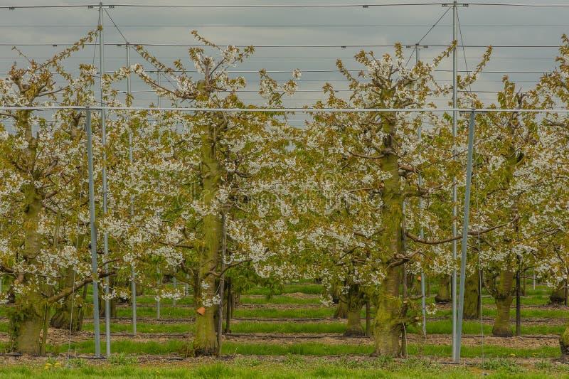 Agricultura - pomar de cereja foto de stock