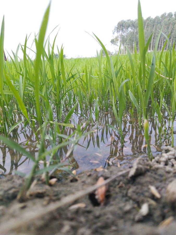 Agricultura que cultiva en la estación de la monzón en campo del agua imágenes de archivo libres de regalías