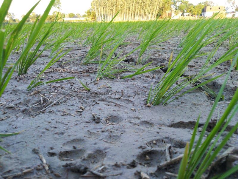 Agricultura que cultiva fango dhaan del agua del cuarto de niños fotografía de archivo