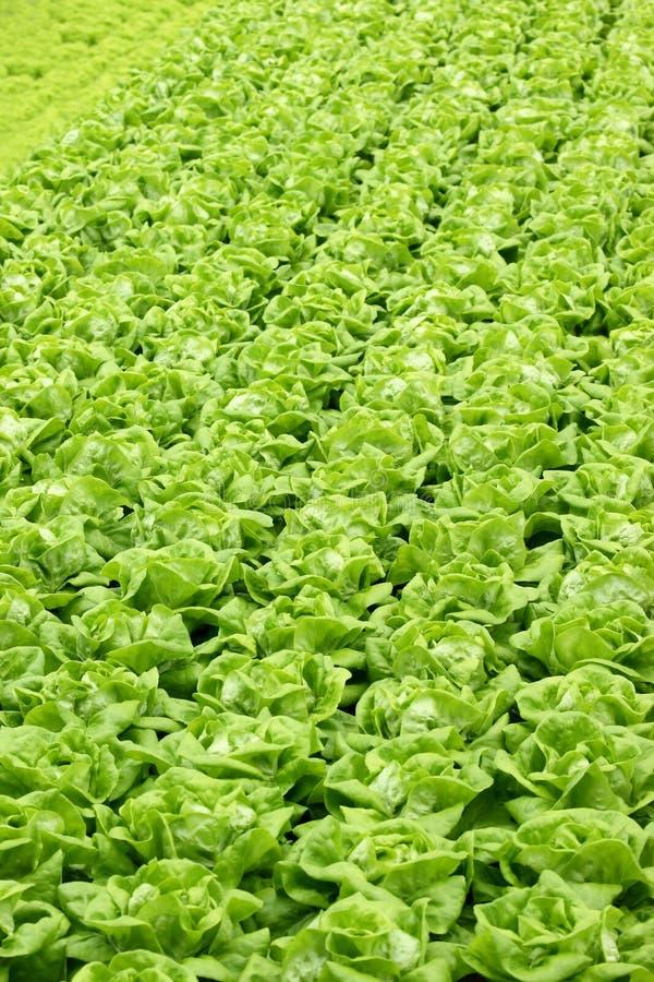 Agricultura - vegetais hidropónicos 02 fotografia de stock