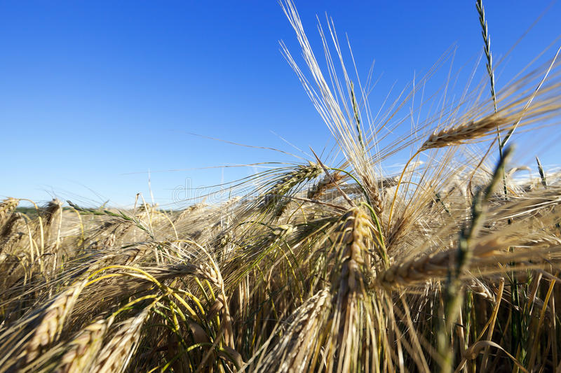 Agricultural field with cereal. Agricultural field where a farmer grows cereals. field of wheat stock image
