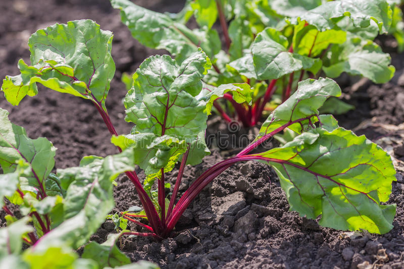 Agricultural field with growing sugar beet royalty free stock photos