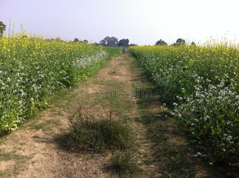 Agricultural field of mustered in India. Flower field in with multi color flower and crop stock image