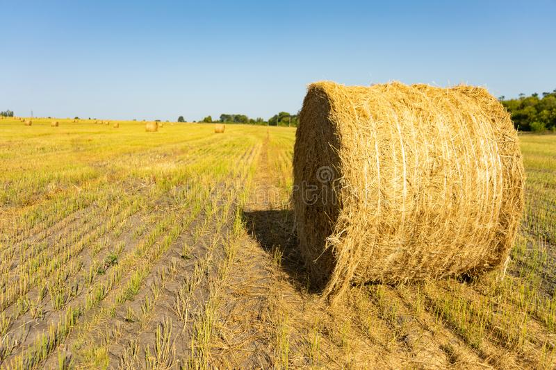 Agricultural field. Round bundles of dry grass in the field against the blue sky. farmer hay roll close up. Agricultural field. Round bundles of dry grass in stock photo