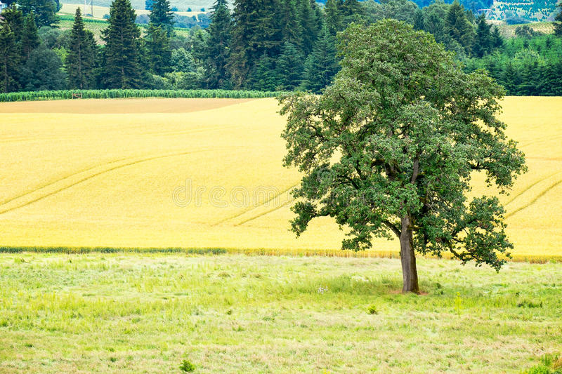 Agricultural Field. Tree next to a field of crops, Willamette Valley, Oregon royalty free stock image