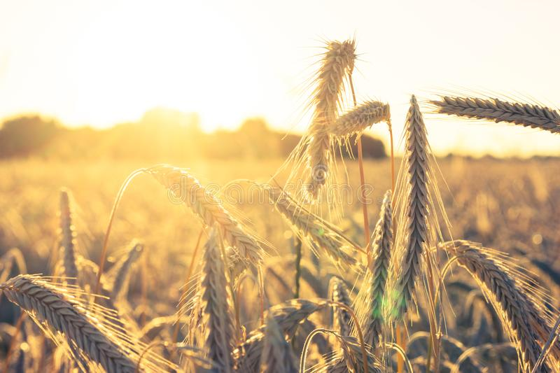 Agricultural field with wheat - backlighting during evening hours. Warm colors royalty free stock images