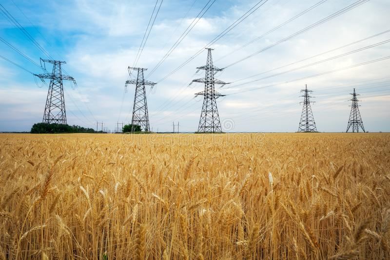 Yellow wheat and power lines. Agricultural field. Yellow wheat and power lines stock photos