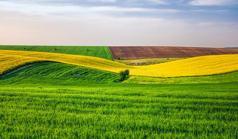Agricultural fields. With rape, panoramic view royalty free stock images