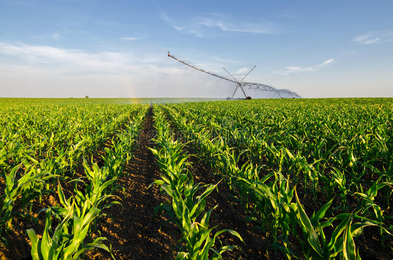 Agricultural irrigation system watering corn field on sunny summer day royalty free stock image