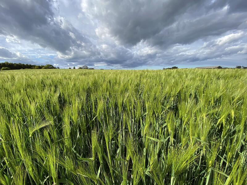 Agricultural land with a crop of barley - Yorkshire - United Kingdom stock photo