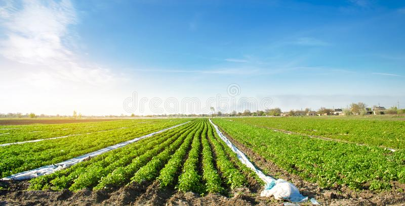 Agricultural land with potato plantations. Growing organic vegetables in the field. Vegetable rows. Agriculture. Farming. Selective focus royalty free stock photo