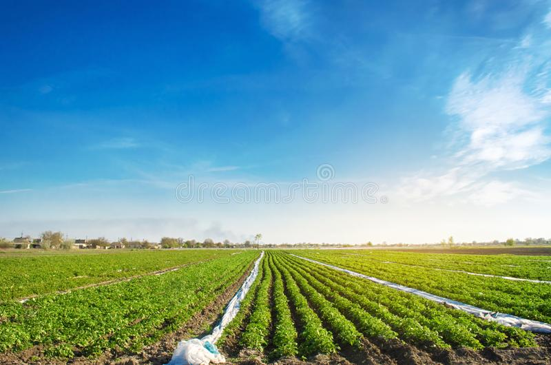 Agricultural land with potato plantations. Growing organic vegetables in the field. Vegetable rows. Agriculture. Farming. Selective focus stock photography