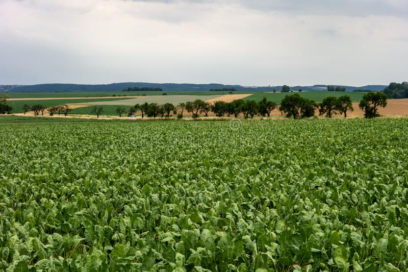 Agricultural landcape with a sugar beet field in Hlucinsko, Czech Republic stock photos