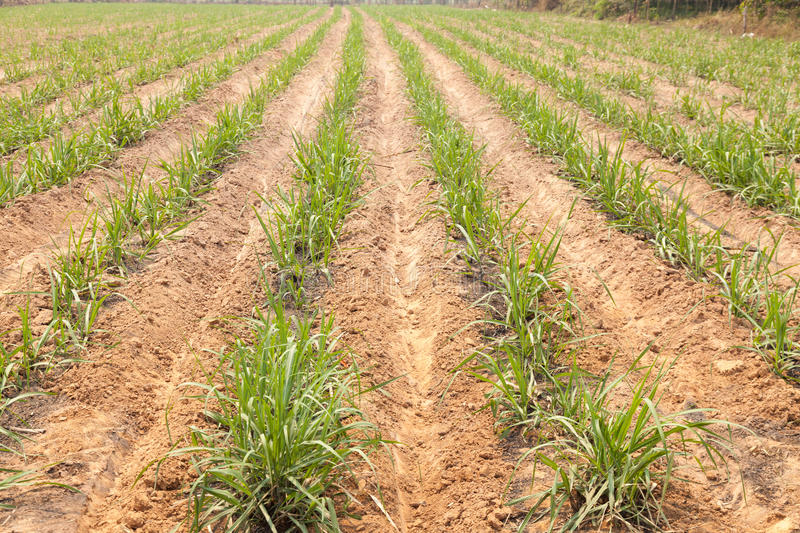Agricultural lands for sugarcane cultivation. Local farmers grow sugar cane. Industrial plants for sugar cane farming practices entering the mill royalty free stock photos