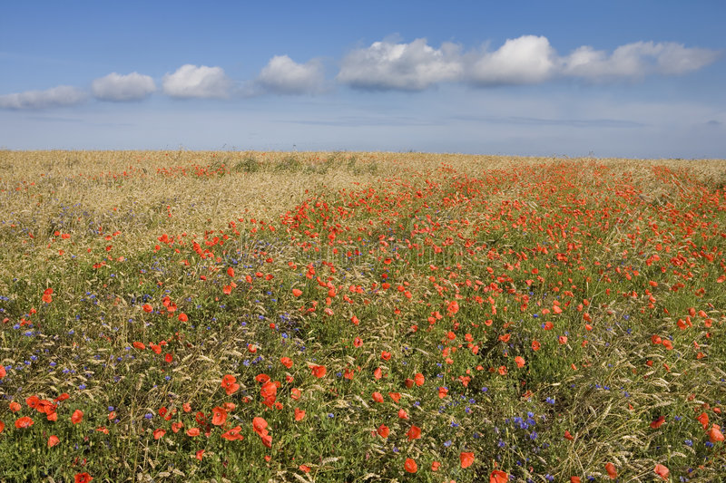 Agricultural landscape - cereal with Corn Poppy stock images