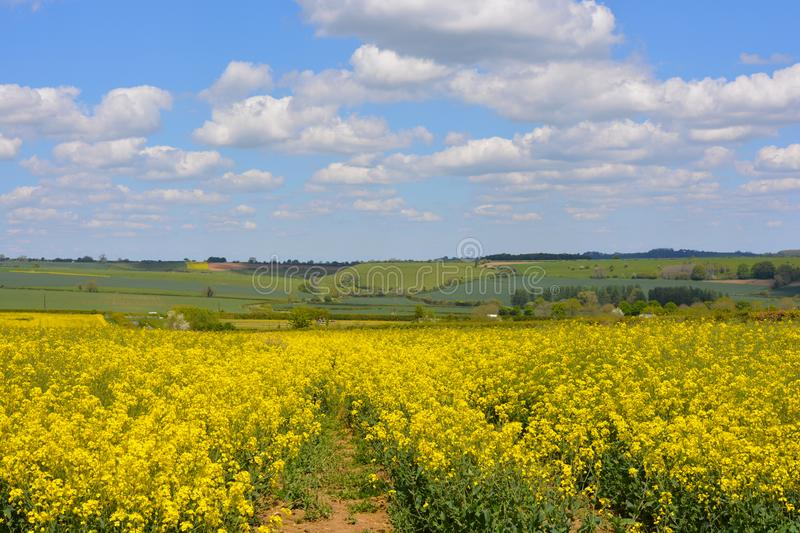 Field of yellow oilseed rape in the spring. Agricultural landscape. Field of rapeseed Brassica napus, also known as rape or oilseed rape, source of vegetable oil royalty free stock images