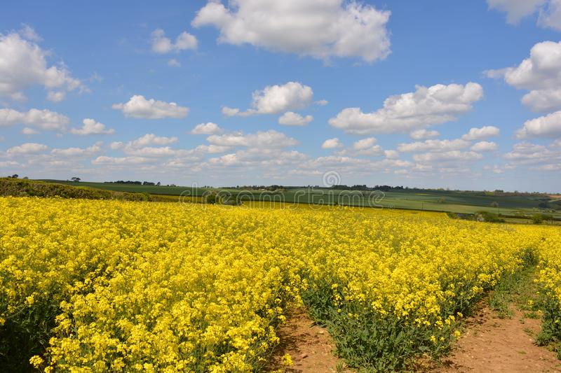 Field of yellow oilseed rape in the spring. Agricultural landscape. Field of rapeseed Brassica napus, also known as rape or oilseed rape, source of vegetable oil stock images