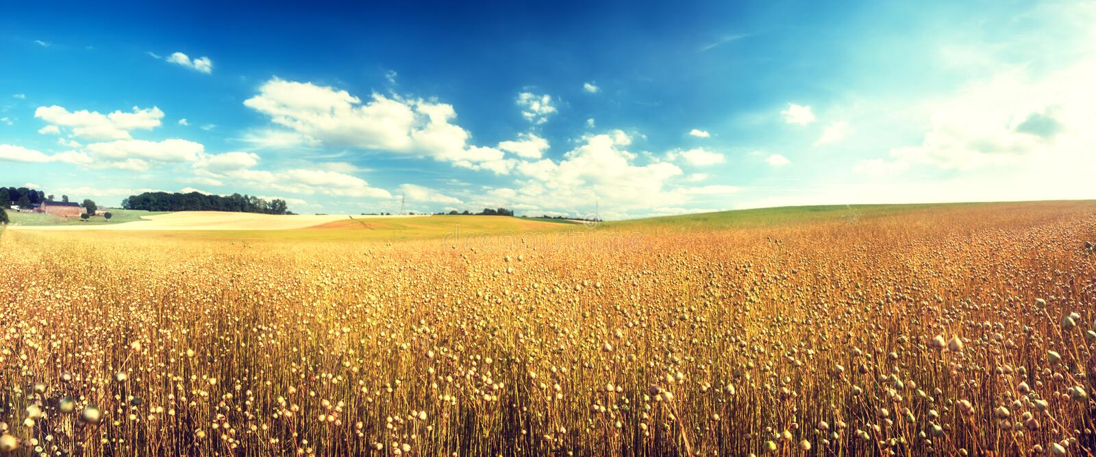 Agricultural landscape with flax seed field. Nature background royalty free stock photo