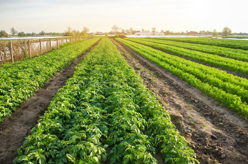 Agricultural landscape with vegetable plantations. Growing organic vegetables in the field. Farm agriculture. Potatoes and carrot. Farming. Selective focus royalty free stock photography
