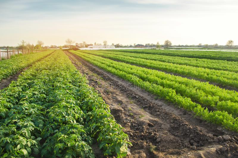 Agricultural landscape with vegetable plantations. Growing organic vegetables in the field. Farm agriculture. Potatoes and carrot. Farming. Selective focus stock photography