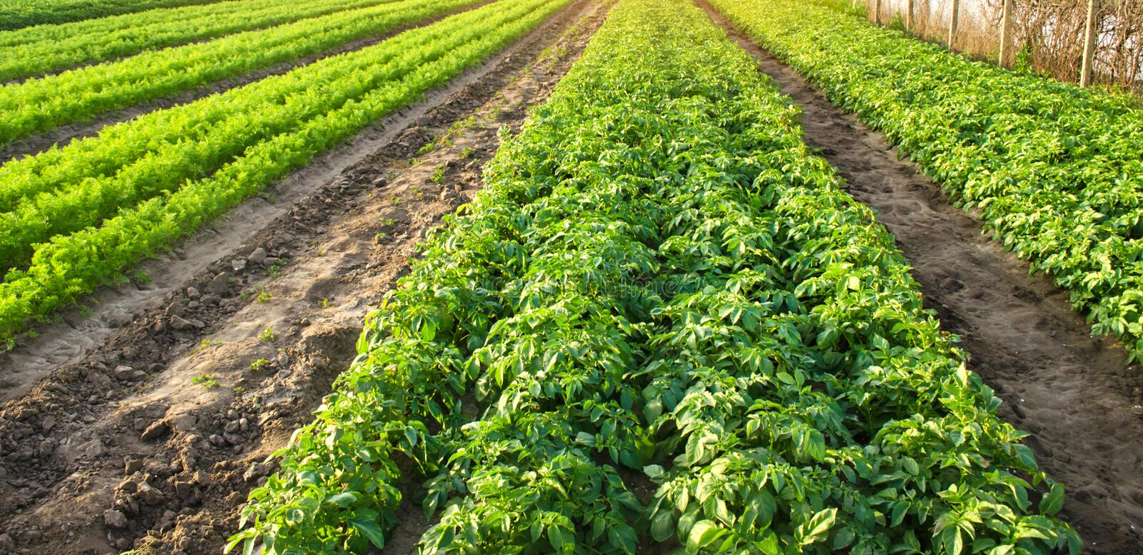 Agricultural landscape with vegetable plantations. Growing organic vegetables in the field. Farm agriculture. Potatoes and carrot. Farming. Selective focus royalty free stock image