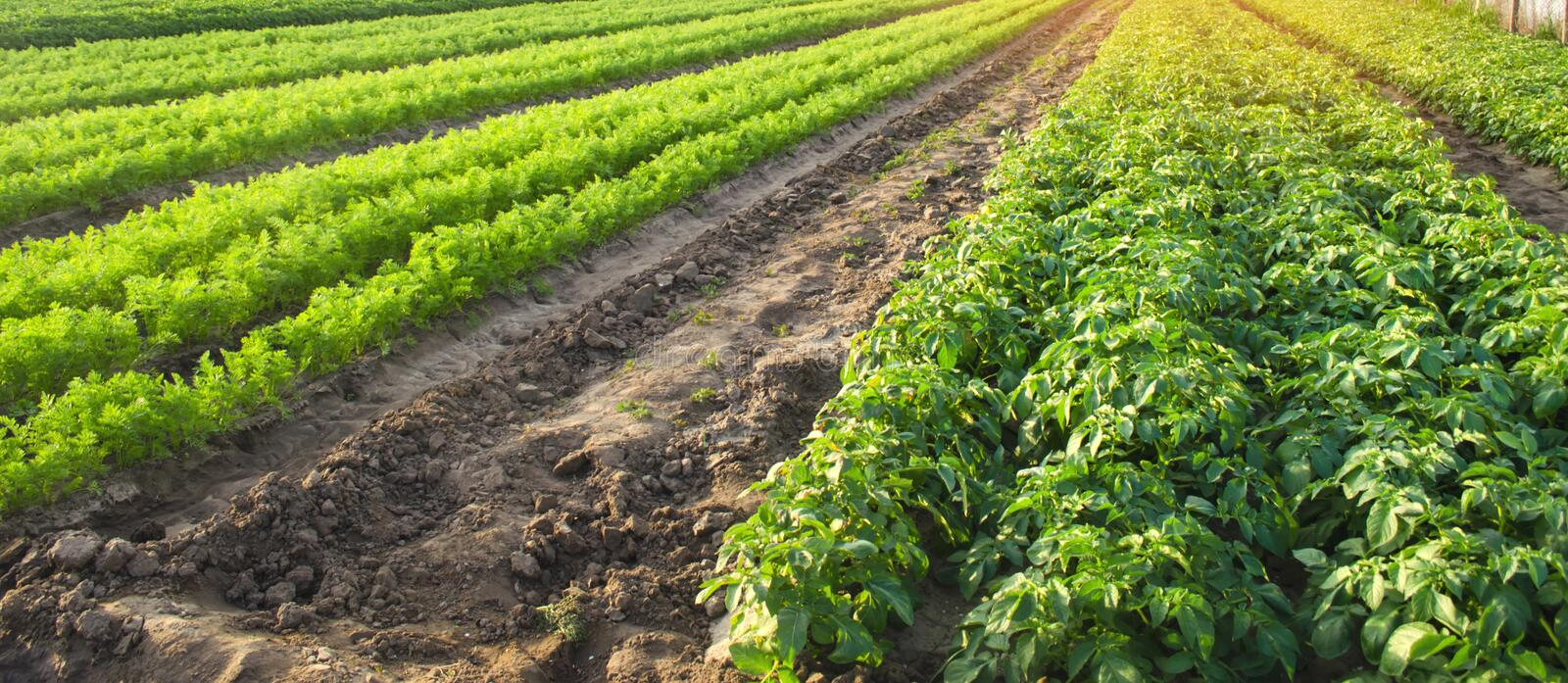 Agricultural landscape with vegetable plantations. Growing organic vegetables in the field. Farm agriculture. Potatoes and carrot royalty free stock image
