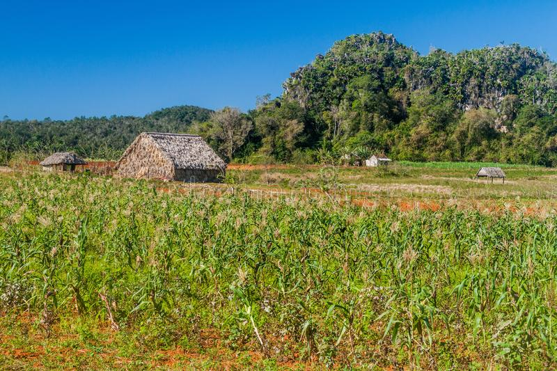 Agricultural landscape of Vinales valley, Cuba. Field of maize royalty free stock photos