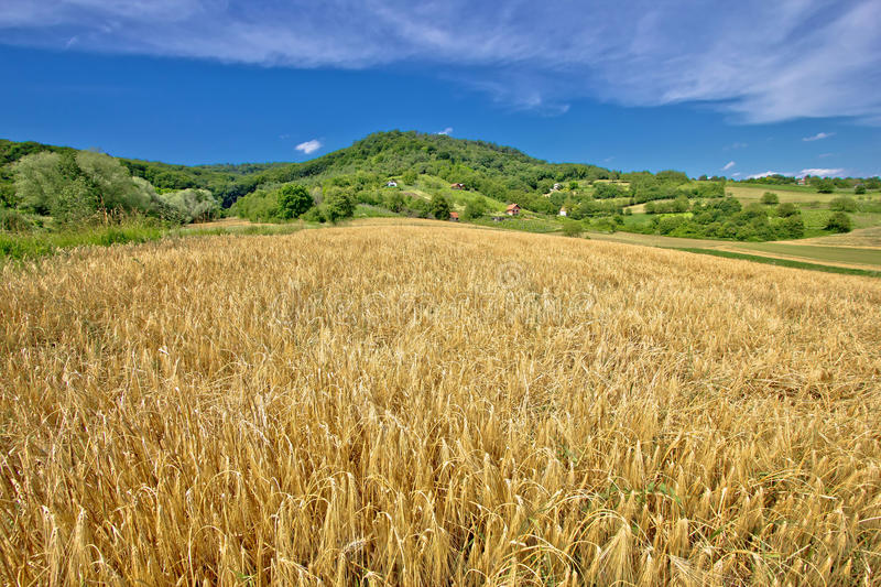Agricultural landscape wheat field on green hill stock photography