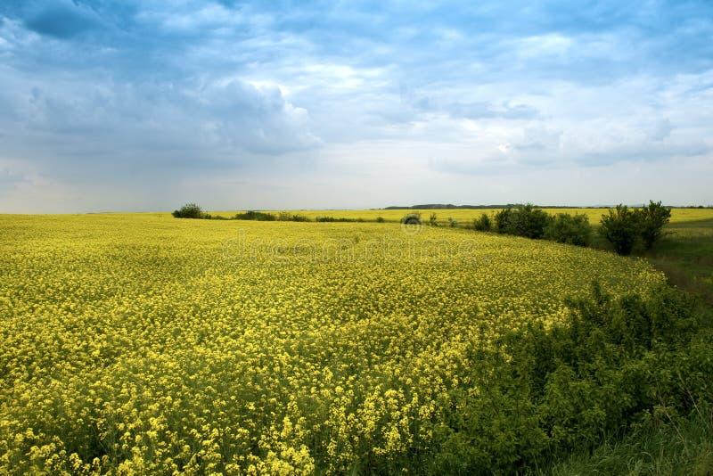 Agricultural landscape - yellow rape flowers