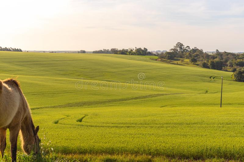 The agricultural production field in fallow and the horse 02. Pasture field in agricultural production area in the city of Cachoeira do Sul, RS, Brazil. Area of stock image