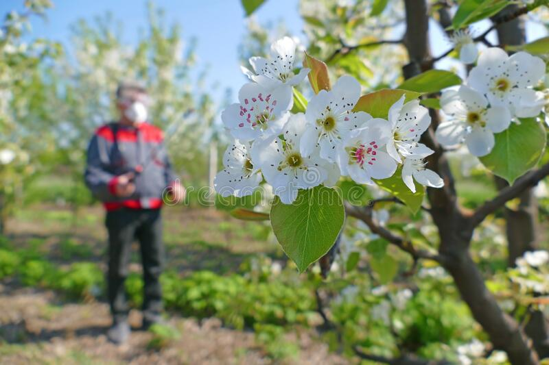 Agricultural senior worker in a blossom apple orchard spraying pesticide. To protect against disease and insects stock photos