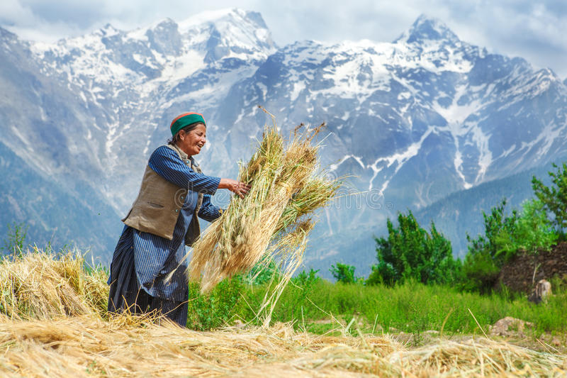 Agricultural time. Agricultural summer time high up in the mountains stock image