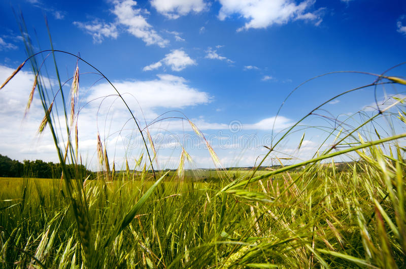 Agricultural wheat fields. Summer time in a nature. Sun light. Green fields and windy weather. Rural scene stock image